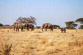One day of safari in Tanzania - Africa - Elephants — Fotografia Stock