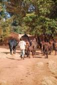 African herders bring small herds of cows grazing-Tanzania-Afric — Stock Photo