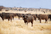 The African Buffalo - Tanzania - Africa — Stock Photo