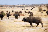 The African Buffalo - Tanzania - Africa — Stock fotografie