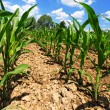 Small Corn Plants - View from below — Stock Photo #52134951
