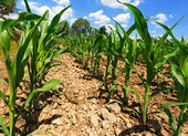 Small Corn Plants - View from below — Stock Photo
