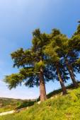 Cedars of Lebanon - Cedrus Libani — Stock Photo