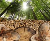 Trunk Sections in the Woods — Stock Photo