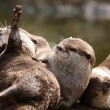 Oriental Short Clawed Otters — Stock Photo #57312341