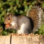 grijze eekhoorn — Stockfoto #57313571