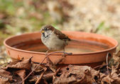 Young House Sparrow — Stock Photo