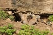 Black-Tailed Prairie Dogs — Stock Photo