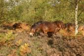 Wilde Exmoor Ponys — Stockfoto
