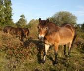 Wild Exmoor Ponies — Zdjęcie stockowe