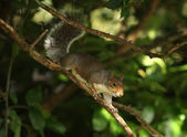 Grey Squirrell — Stock Photo