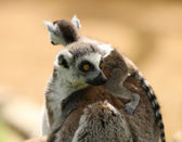 Ring Tailed Lemur family — Stock Photo