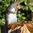 Grey Squirrel — Stock Photo #57596603