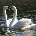 Mute Swan — Stock Photo #57596883