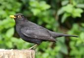 Male Blackbird — Stock Photo