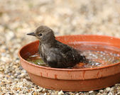 Young Starling bathing — Stock Photo