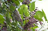 Bird Blackcap is a deft insect catcher. — Stock Photo