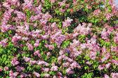 Lilac (Syringa) — Stock Photo