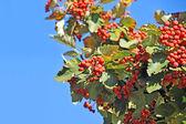 Hawthorn (Crataegus monogyna) — Stock Photo