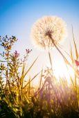 Maskros i kväll solskenet — Stockfoto
