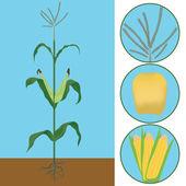 Maize as a plant — Stock Photo