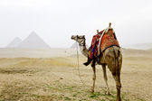 A camel and the pyramids of giza — Stock Photo
