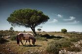Pony grazing on the meadow — Stock Photo