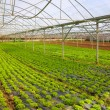 Lettuce Greenhouse — Stock Photo #70407957