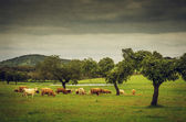 Cows pasturing in a grassland — Stock Photo
