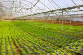 Lettuce Greenhouse — Stock Photo