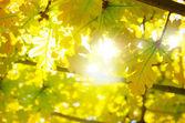 Leaves Backlight — Stock Photo