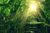 View from inside a corn field — Stock Photo