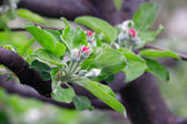 Apples  bloom — Stock Photo
