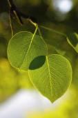 Folhas de pêra — Fotografia Stock