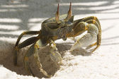 Ghost Crab (Ocypode quadrata) — Stock Photo