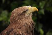 Aigle européen — Photo
