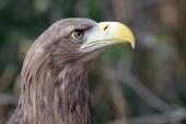 European eagle — Stock Photo