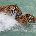 Tigers fighting — Stock Photo #66501131