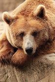 Tvář medvěd — Stock fotografie