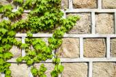 Green ivy climbing a stone wall — Stock Photo