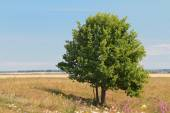 Green lonely tree growing in a meadow — Stock Photo