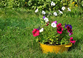 Ideas for garden - flowers in old wash-basin — ストック写真