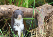 Polecat-coloured Ferret — Stock fotografie