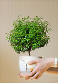 Young myrtle a potted plant — Stock Photo