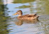 Portrait of a females of duck on the water  — Stock Photo