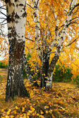 Fall yellow birch grove — Stock Photo