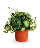 Houseplant - Peperomia caperata a potted plant isolated over whi — Stock Photo