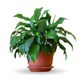 Spathiphyllum — Stock Photo