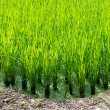 Green rice field background — Stock Photo #78367334