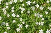 Wood anemone — Stock Photo